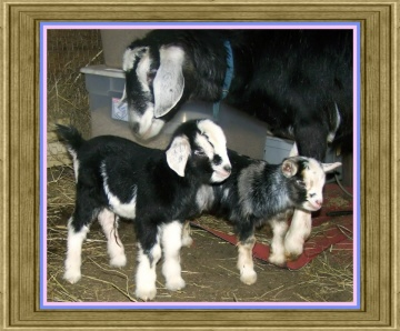 Oreo's Kids - Nabisco(buckling) & Cookie(doeling)